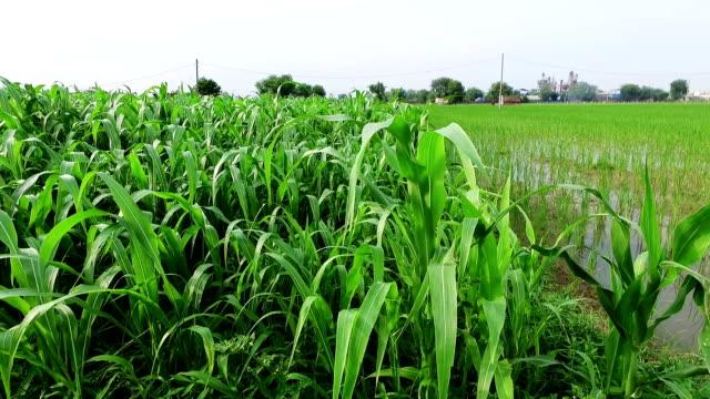 fresh sorghum crop field. - sorghum stock videos & royalty-free footage