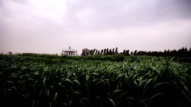 färsk sorghum gröda vajande genom vinden - durra bildbanksvideor och videomaterial från bakom kulisserna