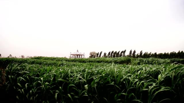 fresh sorghum crop swaying through wind - sorghum stock videos & royalty-free footage