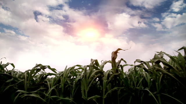 fresh sorghum crop swaying through wind - sorghum stock videos & royalty-free footage