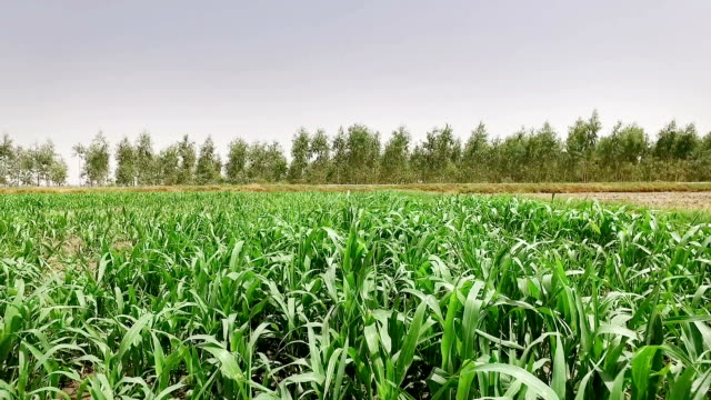 fresh sorghum crop use as animal fodder - sorghum stock videos & royalty-free footage