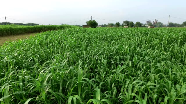 fresh sorghum field - sorghum stock videos & royalty-free footage