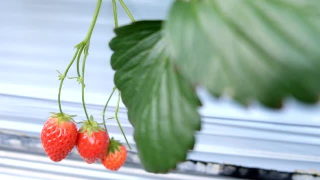 ・フレッシュなストロベリーの日本の農業-ストック動画-ストック動画 - グリーンハウス点の映像素材/bロール