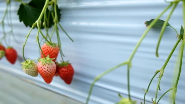 ・フレッシュなストロベリー、日本の農業-ストック動画 - グリーンハウス点の映像素材/bロール