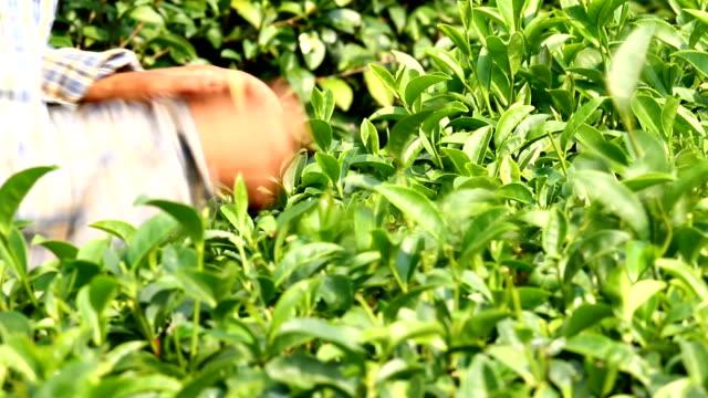 fresh tea leaves - tea leaves stock videos & royalty-free footage