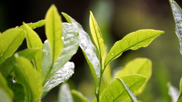 fresh tea leaves - bush stock videos & royalty-free footage