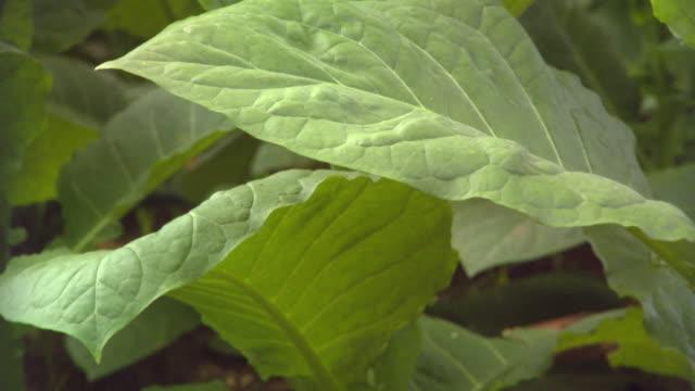 cu fresh tobacco leaves on plant / san luis, pinar del rio, cuba - tobacco crop stock videos & royalty-free footage