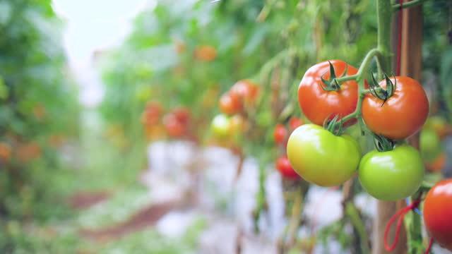 vídeos y material grabado en eventos de stock de tomate fresco en invernadero de tomate - hidropónica