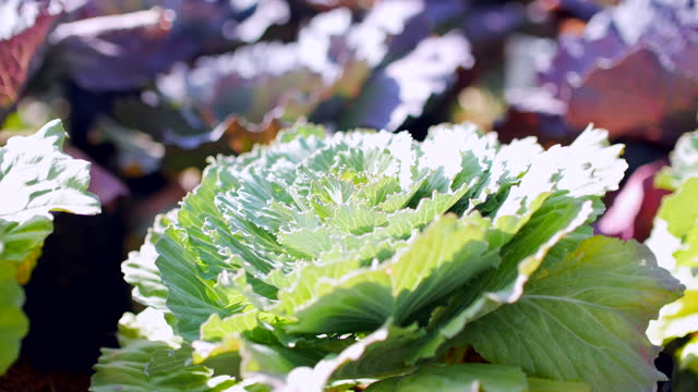 fresh vegetable in farm, fresh cabbage ready for harvesting - butter lettuce stock videos & royalty-free footage