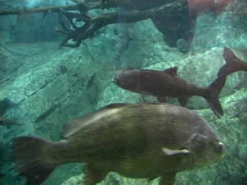 fresh water fish001 - freshwater fish stock videos & royalty-free footage