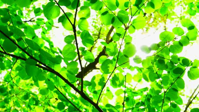 vídeos y material grabado en eventos de stock de hojas jóvenes frescas y luz solar a través de los árboles - enfoque diferencial
