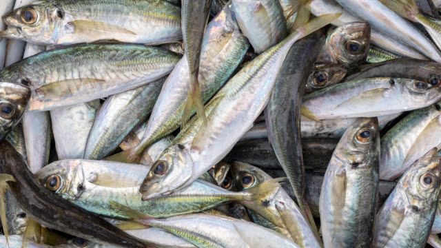 vídeos de stock e filmes b-roll de freshly caught australian fish - captura de peixe