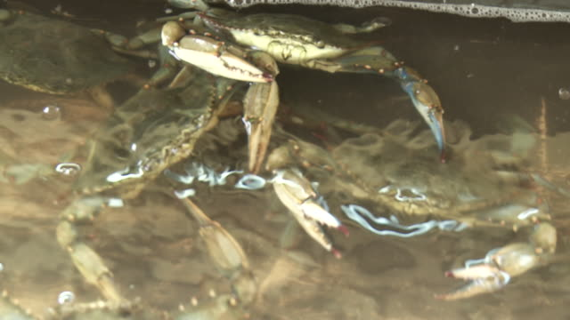Freshly caught crabs snap at each other in a holding pan.