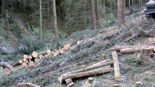 Freshly cut timber in Grizedale forest, Lake Distr