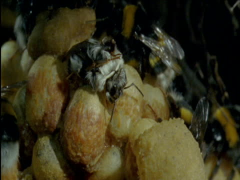 freshly emerged bumble bee in nest - nest stock-videos und b-roll-filmmaterial