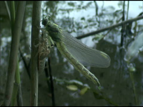 freshly emerged dragonfly clings to its larval skin, hungary - 出現点の映像素材/bロール