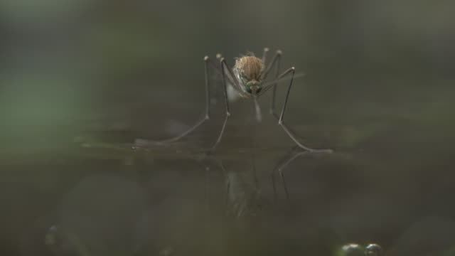 freshly emerged female mosquito flying off - disease vector stock videos & royalty-free footage