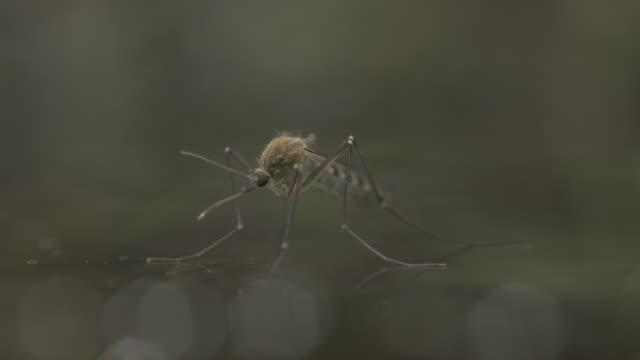 freshly emerged female mosquito sitting on water surface - disease vector stock videos & royalty-free footage