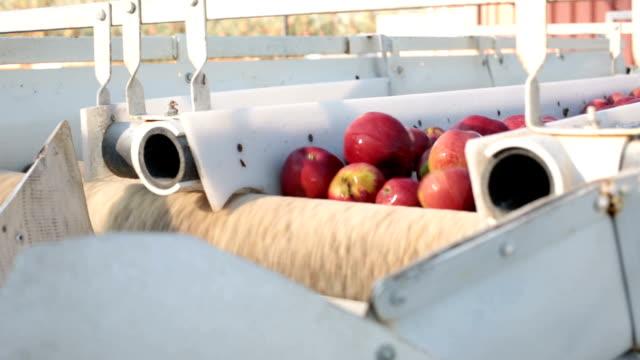 vidéos et rushes de pommes fraîchement récoltées sont triés - pomme