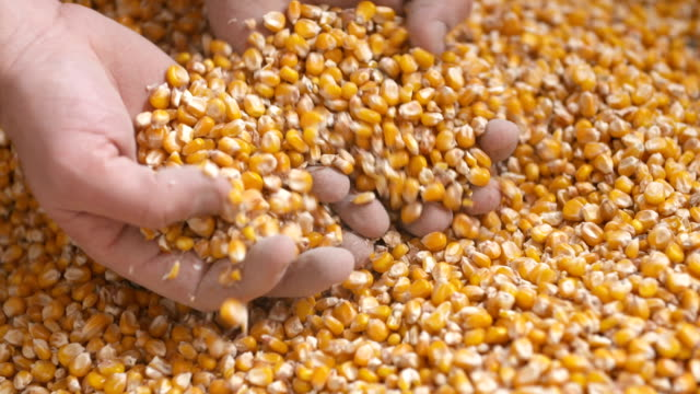 Freshly harvested corn grains. Agriculture background, corn harvesting