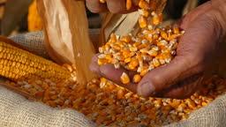 Freshly harvested corn, slow motion