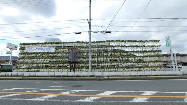 freshly harvested daikon radishes hang onto a scaffoldingframe to dry in the production of pickles in shiso hyogo prefecture japan on tuesday nov 1 a... - agricultural cooperative stock videos and b-roll footage
