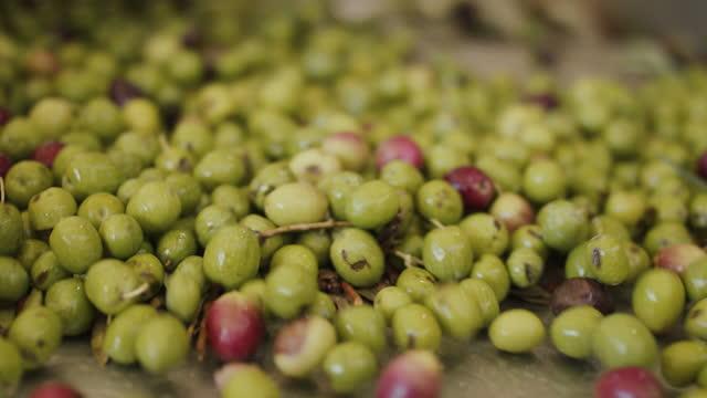 freshly harvested olives getting sorted - オリーブ油点の映像素材/bロール