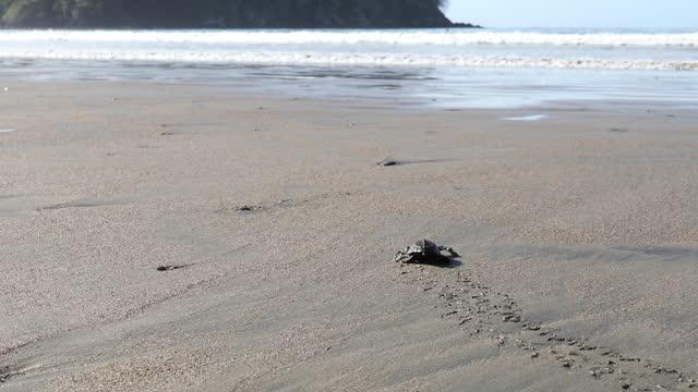 freshly hatched loggerhead sea turtles (caretta caretta) make their way into surf - caretta caretta stock videos & royalty-free footage