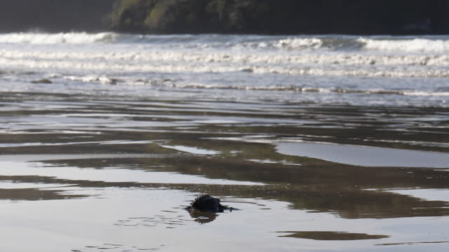 freshly hatched loggerhead turtles (caretta caretta) make their way into surf - caretta caretta stock videos & royalty-free footage