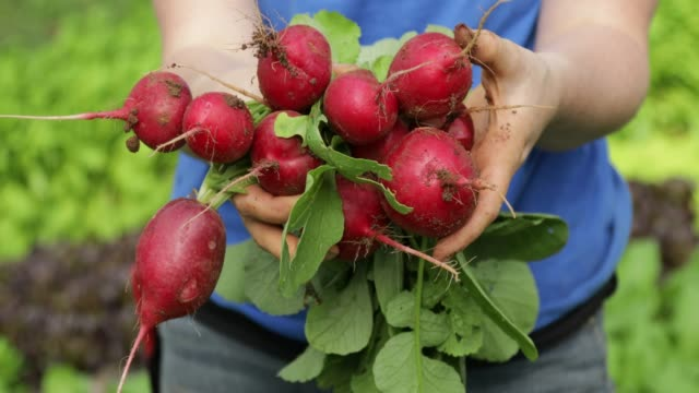 freshly picked radishes - bunches stock videos & royalty-free footage