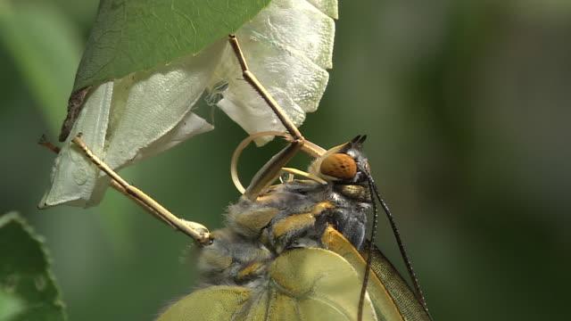 Freshly-emerged Butterfly
