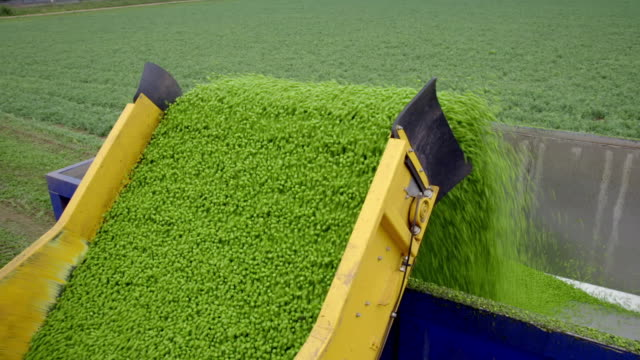 freshly-harvested peas are transferred to a hopper - large group of objects stock videos & royalty-free footage