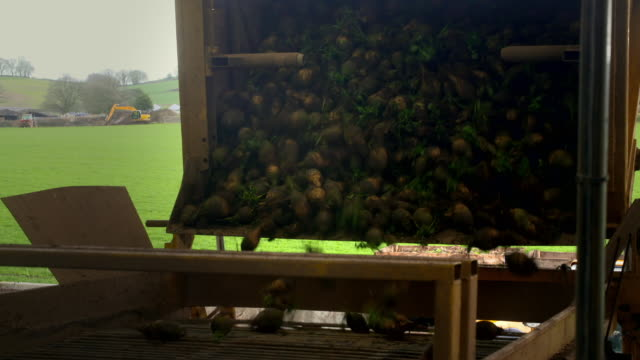 freshly-harvested swede is washed - crucifers stock videos & royalty-free footage