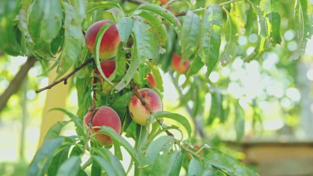 Fresh,ripe peaches hanging from tree,slow motion