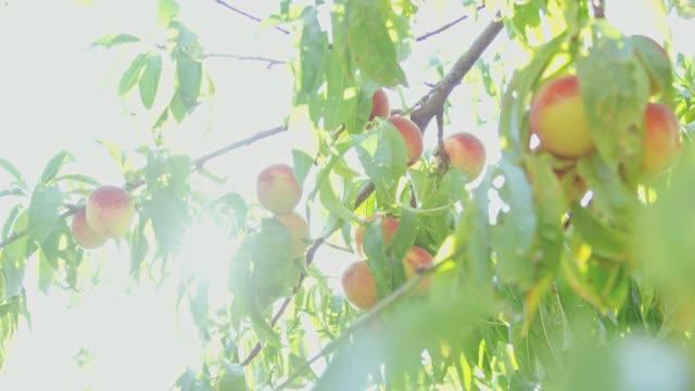 Fresh,ripe peaches hanging on sunny,idyllic tree,slow motion