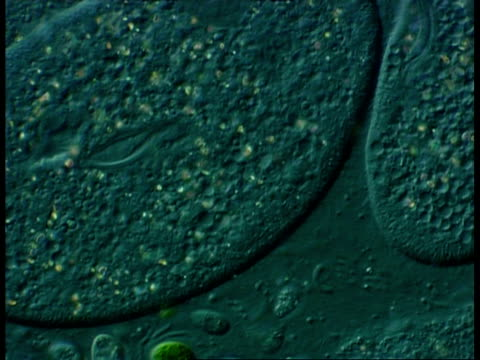 freshwater ciliate protozoan, cu showing movement and vacuoles - organismo unicellulare video stock e b–roll