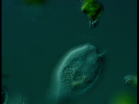 freshwater ciliate protozoan with feeding cilia and stalk visible (possibly vorticella) and green flagellate protozoans, euglena. - protozoan stock videos and b-roll footage