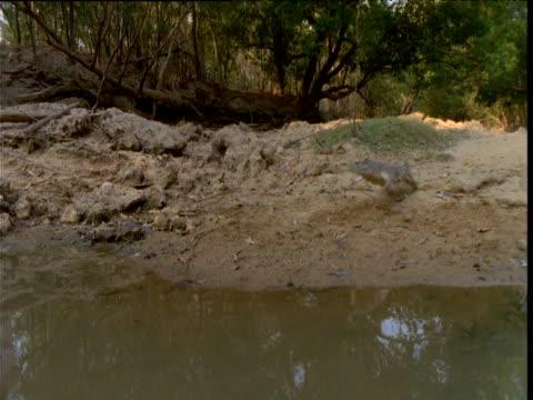 Freshwater crocodile gallops down bank and into waterhole, Northern Territory, Australia