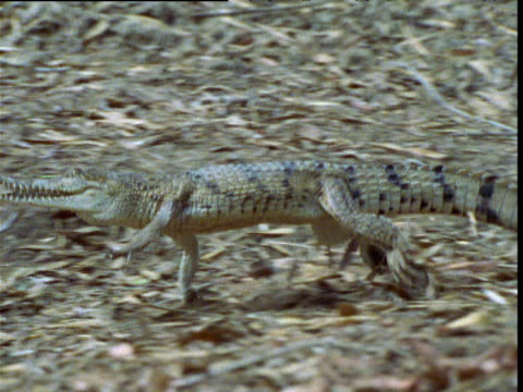 freshwater crocodile gallops down bank and into waterhole, northern territory, australia - クロコダイル点の映像素材/bロール
