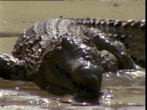 freshwater crocodile lies on its belly in muddy drying waterhole in outback, northern territory, australia - animal abdomen stock videos and b-roll footage