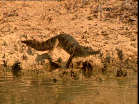 Freshwater crocodile lunges into waterhole with a splash, Northern Territory, Australia