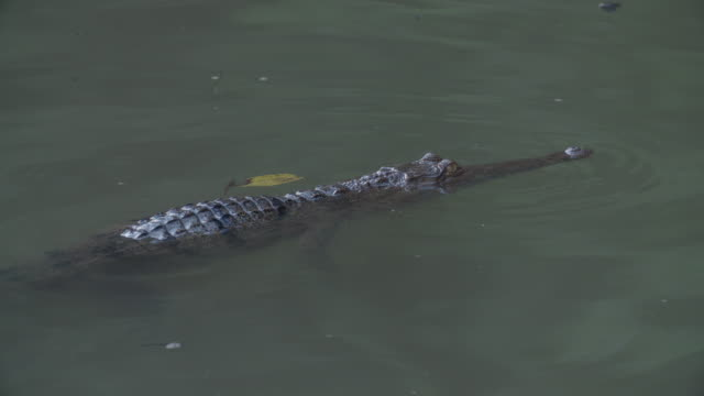 freshwater crocodile swimming slowly in the water - 淡水点の映像素材/bロール