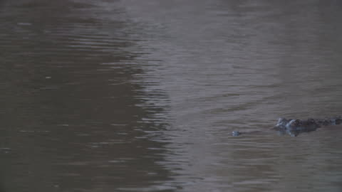 freshwater crocodile swimming slowly in the water - freshwater stock videos & royalty-free footage