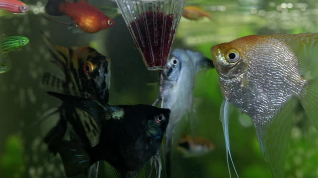 freshwater exotic fish eat worms from a fish feeder. - colony group of animals stock videos & royalty-free footage
