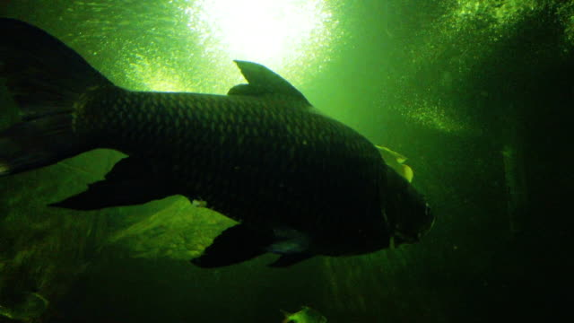 freshwater fish carp underwater fish - tropical fish stock videos & royalty-free footage
