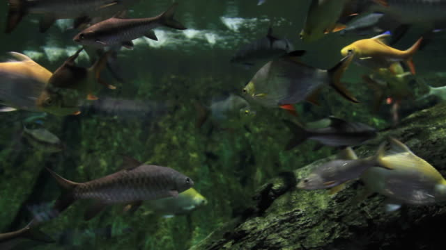 süßwasserfisch fish - tier in gefangenschaft stock-videos und b-roll-filmmaterial