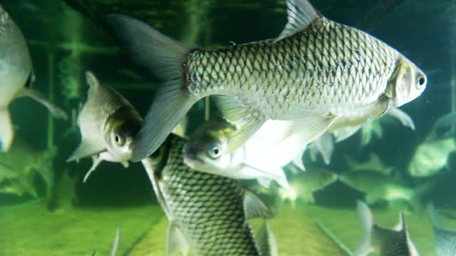 süßwasserfisch fish - silberfarbig stock-videos und b-roll-filmmaterial