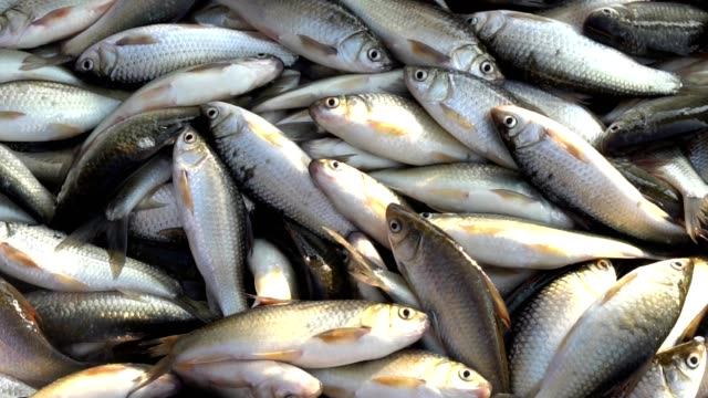 freshwater fishes on the fishing boat - seafood stock videos & royalty-free footage