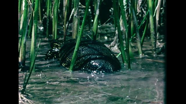 freshwater marsh, turtle walking in water, into reeds. marshland bordering mediterranean sea, vs purple heron at reed nest, three eggs, one w/ hole &... - heron stock videos & royalty-free footage
