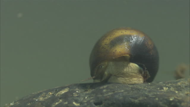 a freshwater mollusks slowly moves across a submerged rock as it feeds. - mollusc stock videos & royalty-free footage